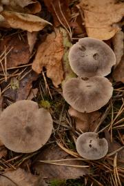 Velvet Mushroom