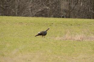 Turkeys In The Field