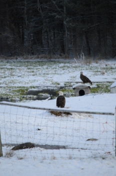 Eagles Raid The Barnyard